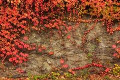有红色叶子的植物在石墙上 免版税库存图片