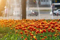 有红色和黄色郁金香的花圃在城市公园背景有喷泉的 免版税库存照片