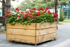有红色大竺葵花的大木罐在室外 免版税库存照片