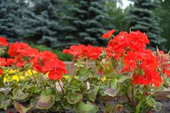 有红色天竺葵的花圃在公园 库存图片