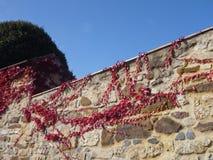 有红色常春藤分支的石墙 图库摄影