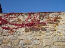 有红色常春藤分支的石墙 免版税库存图片