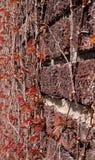 有红色常春藤的一个砖墙在春天 库存照片