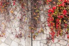 有红色的上升的植物在秋天离开在老石墙 常春藤属螺旋,英国常春藤 库存图片