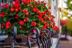 有红色秋海棠的五颜六色的花盆 免版税图库摄影
