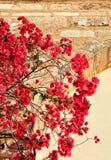 有红色花的九重葛植物 免版税库存图片