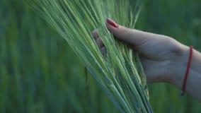 有红色钉子的一只妇女` s手拿着几粒绿色黑麦 影视素材