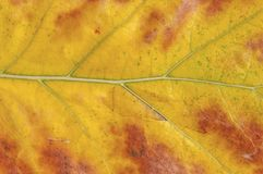 有红色零件的黄色宏观射击叶子喜欢自然的标志 图库摄影
