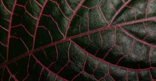 有红色静脉的热带叶子 库存照片