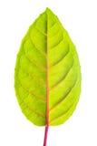 有红色静脉的绿色叶子 免版税库存图片