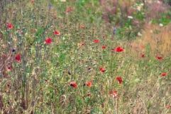 有红色鸦片和绿草的草甸 免版税库存图片