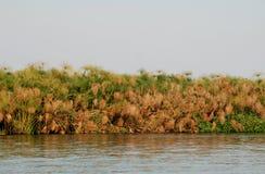 有纸莎草的河岸 库存图片