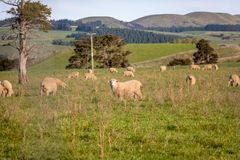 有绵羊的新西兰农田 库存照片