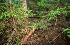 有绿色云杉的深森林夏令时 库存照片