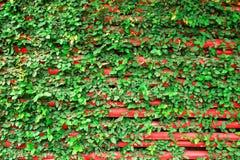 有绿色卷曲植物的红色木墙壁 免版税库存图片
