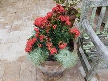 有绿色叶子和桃红色花的植物在木长凳附近的花盆与地衣 免版税图库摄影
