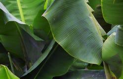 有绿色叶子特写镜头照片的热带植物 大软的香蕉叶子背景 库存图片