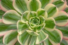 有绿色叶子的多汁植物 免版税库存图片