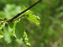 有绿色叶子的枝杈 库存图片