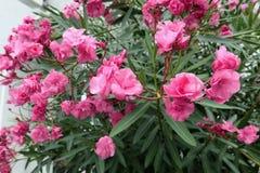 有绿色叶子的桃红色夹竹桃开花 地中海植物 图库摄影