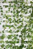 有绿色叶子的白色墙壁 库存图片