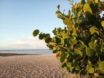 有绿色叶子的绿色海滩植物在前景增长 白色沙滩和天空蔚蓝ackground r Emty?? 免版税库存照片