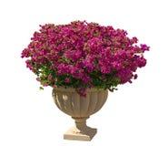有绿色叶子的美丽的紫色Bougianvillea瓣在白色背景隔绝的奶油色罗马形状瓦器 免版税图库摄影
