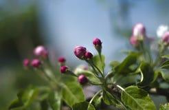 有绿色叶子的苹果树芽淡紫色开花在春天在庭院里 免版税库存图片