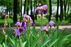 有绿色叶子的蓝色和紫色虹膜在树背景在公园 免版税库存图片