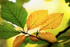 有绿色和深黄色的秋天叶子的枝杈 免版税库存照片