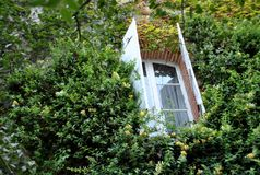 有绿色常春藤和窗口的墙壁 库存图片