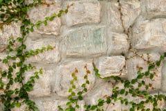 有绿色爬行物植物的石墙 免版税库存照片