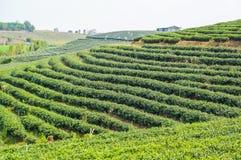有绿色环境的美丽的茶农场 图库摄影