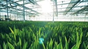 有绿色花叶子的被日光照射了玻璃温室 影视素材