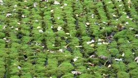 有绿色青苔的老遗弃农村木谷仓屋顶 股票录像