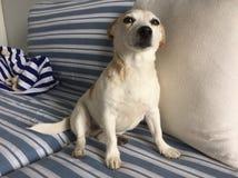 有罪的狗 免版税库存照片