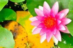 有美丽带来假装背景的莲花, 免版税库存照片