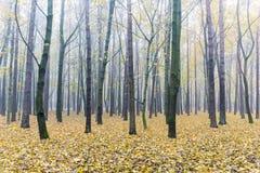 有美丽的树的秋季森林与黄色叶子浸没 库存图片