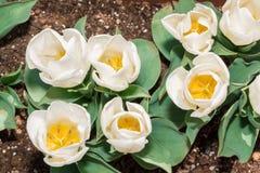 有美丽的白色郁金香花粉五谷的郁金香花药开花 免版税图库摄影