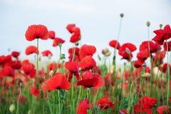 有美丽的红色鸦片花的草甸 免版税图库摄影