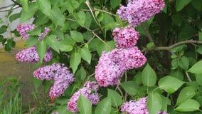 有美丽的花的淡紫色开花 影视素材