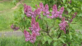 有美丽的花的淡紫色开花 股票录像