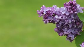 有美丽的花的淡紫色开花 股票视频