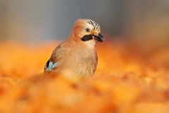 有美丽的鸟的橙色森林叶子 好鸟欧亚混血人杰伊, Garrulus glandarius画象,与橙色跌倒留给  免版税库存图片