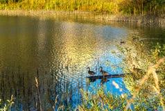 有美丽的鸭子的Autumn湖 图库摄影