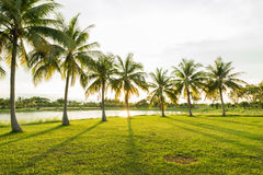 有美好的光束的椰子树棕榈在绿色朴庭院 免版税库存图片