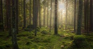 有美好的光的绿色生苔森林从太阳发光 图库摄影