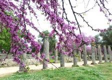 有美好的桃红色开花的花的奥林匹亚考古学站点 库存图片
