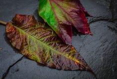 有美好的颜色图象的两片湿秋天叶子落 库存照片