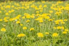有美好的黄色的草甸开花医药蒲公英 图库摄影